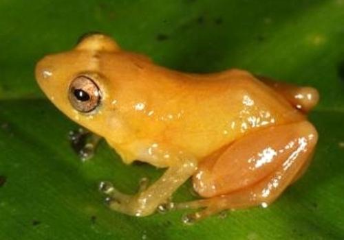 Открыт новый вид лягушек, прикосновение к которым оставляет золотой след